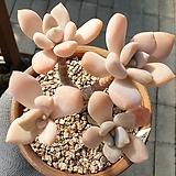 석연화묵은둥이자연군생 Pachyveria Pachyphytodies