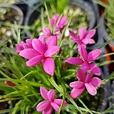 분홍설란(작은꽃품종)|