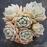 백모단 합식 Graptoveria Titubans