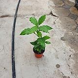 커피나무소품열매15~25cm|