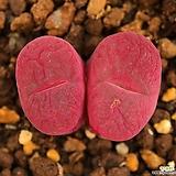 마우가니|Conophytum maughanii