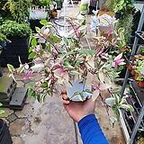 오색달개비 공중걸이식물 35~45cm|