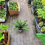 칼라데아인시그니스음지식물 30~40cm|