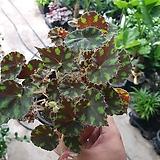 타이거베고니아소품수입식물 10~20cm|Begonia