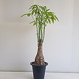 파키라 외대/공기정화식물/반려식물/온누리 꽃농원|