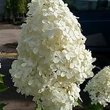 목수국(라임라이트)/공기정화식물/반려식물/온누리 꽃농원|Hydrangea macrophylla