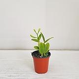카틀레아(흰색)/공기정화식물/반려식물/온누리 꽃농원|