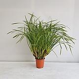 막실라리아/공기정화식물/반려식물/온누리 꽃농원|