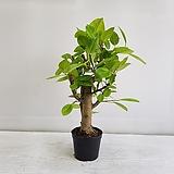 뱅갈나무/공기정화식물/반려식물/온누리 꽃농원|