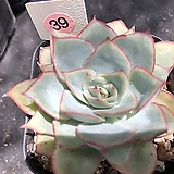 문가드니스39|Echeveria Esther