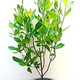 매화오리나무 