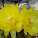 95ㆍ금관옥선인장.꽃사진첨부|Haworthia truncata