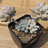 베이비핑거 0615-32|Pachyphytum Machucae (baby finger)