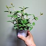 아름제니페페신종페페소품공기정화식물10202815|