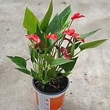 안스리움미니종 미니미니 공기정화식물 354511960|