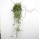 호야 / 다비드쿠밍 / 공기정화식물 / 행잉플랜트 / 한빛농원|Hoya carnosa