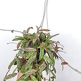 호야하와이 / 호야 / 꽃피는호야 / 수입식물 / 공기정화식물 / 한빛농원|