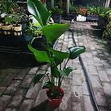 극락조삼식이인기식물상처있어요멋저요 45~70cm|