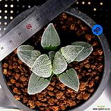 하월시아 피그마에아 백은철도(39) Haworthia pygmaea