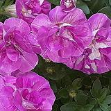 사피니아 [핑크 겹 ]|