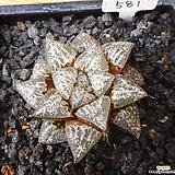 후엽픽타|Haworthia picta