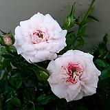 핑크겹찔레(꽃대소품)-화이트핑크색의 꽃송이를 올려 점점 만개할 수록 흰꽃으로 변하는 품종입니다.
