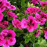 켄디제라늄.꽃이 계속피고 지고 너무 예쁜 꽃입니다,|Geranium/Pelargonium
