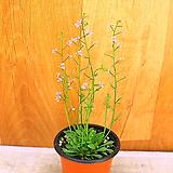 스틸리디움데빌(꽃이 움직이는 방아쇠식물)|Echeveria still