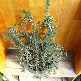 클리핑로즈마리(꽃피는로즈마리)|Rosemary