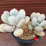 홍미인 0684|Pachyphytum ovefeum cv. momobijin