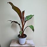 레드바나나수입식물신상품 공기정화식물 406014970|