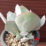 시집가는처녀 잎장변이 0620|Cotyledon orbiculata Yomeiri-Musume