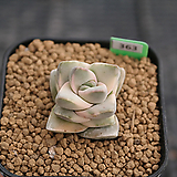 기천금 J06-363|Crassula cv Moonglow