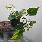 옥시카르디움  브라질  수입식물|