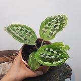 칼라데아  피코크진저   수입식물|