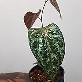 칼라데아 파이퍼크로카텀   수입식물