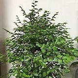 소사나무|