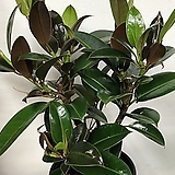 멜라니 고무나무|Ficus elastica