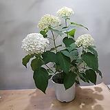 아나벨수국    수국 흰색|Hydrangea macrophylla