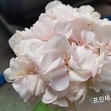 프랜시스다이앤(제라늄)|Geranium/Pelargonium