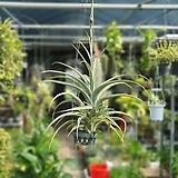 3단플렉수오사 수입식물 공중식물 709025915|