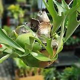 박쥐란알시콘 단품 2번 수입식물 공중식물|