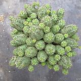 오베사 1603|Baseball Plant (Euphorbia obesa)