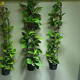 호야카노사 수입호야 색상선택가능 수입식물 608011980|Hoya carnosa