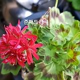 준패트리샤(제라늄)|Geranium/Pelargonium
