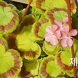 제니+꽃사진첨부(제라늄2개)|