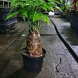 파키라 상태 최강 공기정화식물 35~45cm|