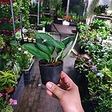 필로덴드론트루비수입식물 공기정화식물 15~20cm|