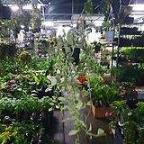 디시디아화이트 기본 수입식물 40~50cm|