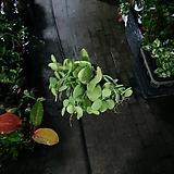 디시디아애플그린 수입식물 기본 공중식물 40~50cm|